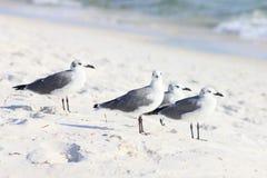 Fåglar av en fjäderPanama City strand royaltyfria foton