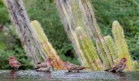 Fåglar av ett fjäderbad tillsammans arkivfoton