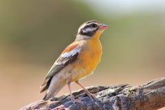 Fåglar av färg - Guld--gådd mot Bunting Royaltyfri Foto