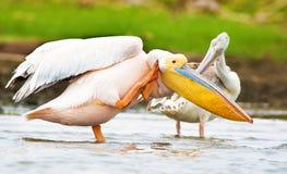 Fåglar av laken Nakuru Royaltyfri Foto