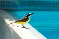 Fåglar av Nicaragua Arkivbilder