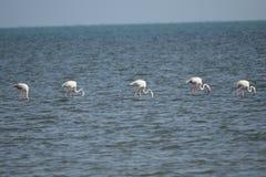 Fåglar av Röda havet arkivfoto