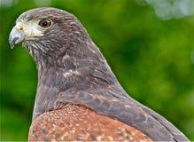 Fåglar av rovet Harris hök Royaltyfri Foto