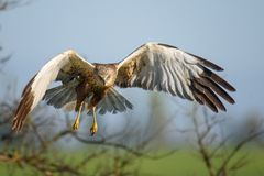 Fåglar av rovet - Marsh Harrier Circus aeruginosus arkivbilder