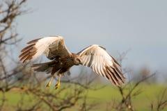 Fåglar av rovet - Marsh Harrier Circus aeruginosus arkivfoton