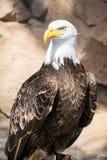 Fåglar av rovet - skalliga Eagle Arkivbilder