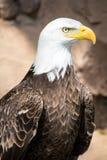 Fåglar av rovet - skalliga Eagle Arkivbild