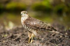 Fåglar av rovet - Sparrowhawk Accipiternisus arkivbild