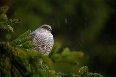 Fåglar av rovEurasiansparrowhawk, Accipiternisus som sitter på prydligt träd under hällregn i skoghöken i det regniga dar arkivfoton