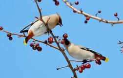 Fåglar av stäpparna Arkivbilder