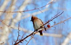 Fåglar av stäpparna Royaltyfria Foton