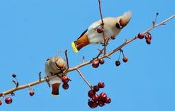 Fåglar av stäpparna Fotografering för Bildbyråer