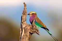 Fåglar av Tanzania arkivfoto