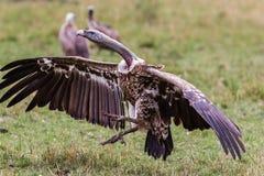 Fåglar av Tanzania Royaltyfria Foton