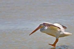 Fåglar av våtmarkerna av knivsmeden Bay royaltyfri foto