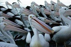 fåglar befjädrar flocken tillsammans Royaltyfri Foto