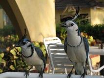 fåglar Costa Rica Royaltyfria Bilder