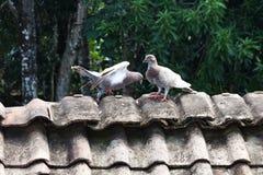 Fåglar duvor på taket Arkivfoton