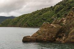 Fåglar för konung Shag Cormorant vaggar på i den Okahu fjärden Arkivbild