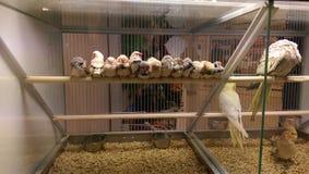 Fåglar för sebrafink som tillsammans samlas Arkivfoton