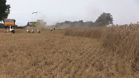 Fåglar för vete och för stork för sammanslutningtröskverkskörd flyger panorama lager videofilmer