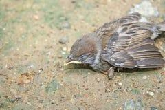 Fåglar faller från redet på trädet, sparvfågel på jordningen fotografering för bildbyråer