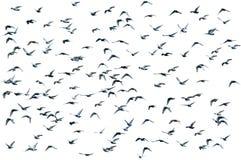 fåglar flockas isolerat Royaltyfria Bilder