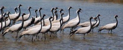 fåglar flockas migratory royaltyfria bilder