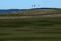 Fåglar flyger över golfbanan arkivfoton