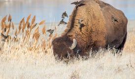 Fåglar flyger till baksidan av en lös buffel för att ansa den arkivbilder