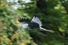 FÅGLAR - Grey Heron Royaltyfri Fotografi