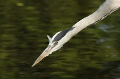 FÅGLAR - Grey Heron Royaltyfri Foto