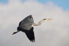 FÅGLAR - Grey Heron Royaltyfria Bilder