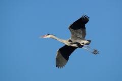 FÅGLAR - Grey Heron Arkivbild