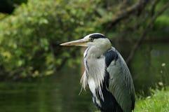 FÅGLAR - Grey Heron Arkivfoton