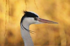 FÅGLAR - Grey Heron Arkivbilder