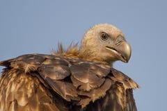 Fåglar - Himalayan Griffon Vulture, Bagori område, Kaziranga nationalpark, Assam, Indien royaltyfri bild