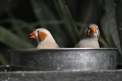 fåglar i bad Arkivbild