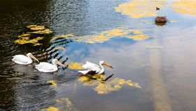Fåglar i dammet, London, England Royaltyfria Bilder