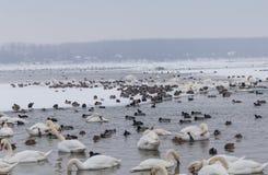 Fåglar i den djupfrysta Donauen Arkivfoton