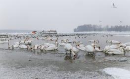Fåglar i den djupfrysta flodDonauen Royaltyfria Bilder