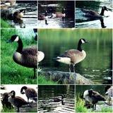 Fåglar i djurliv Lösa änder som är djura på stenen av dammet, packar ihop sidosikt Enorm and i djurliv Arkivbilder