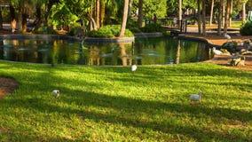 Fåglar i Eola sjön och parkerar lager videofilmer