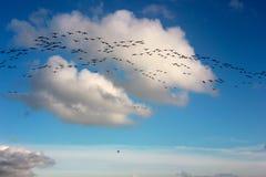 Fåglar i flyg Arkivbild