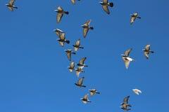 Fåglar i flyg fotografering för bildbyråer