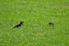 Fåglar i gräset Royaltyfri Fotografi