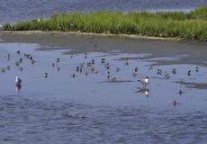 Fåglar i grunt vatten Royaltyfria Foton