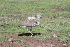 Fåglar i Tanzania Arkivbild