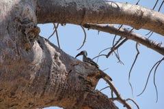 Fåglar i trädet på ruahanationalparken arkivbild