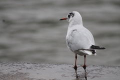 fåglar kallade seagulls för seagull för laridae för familjfiskmåsar informellt ofta Royaltyfri Bild